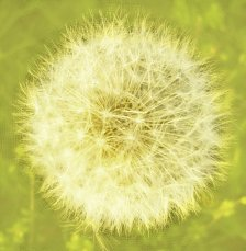 dandelion3 yellow